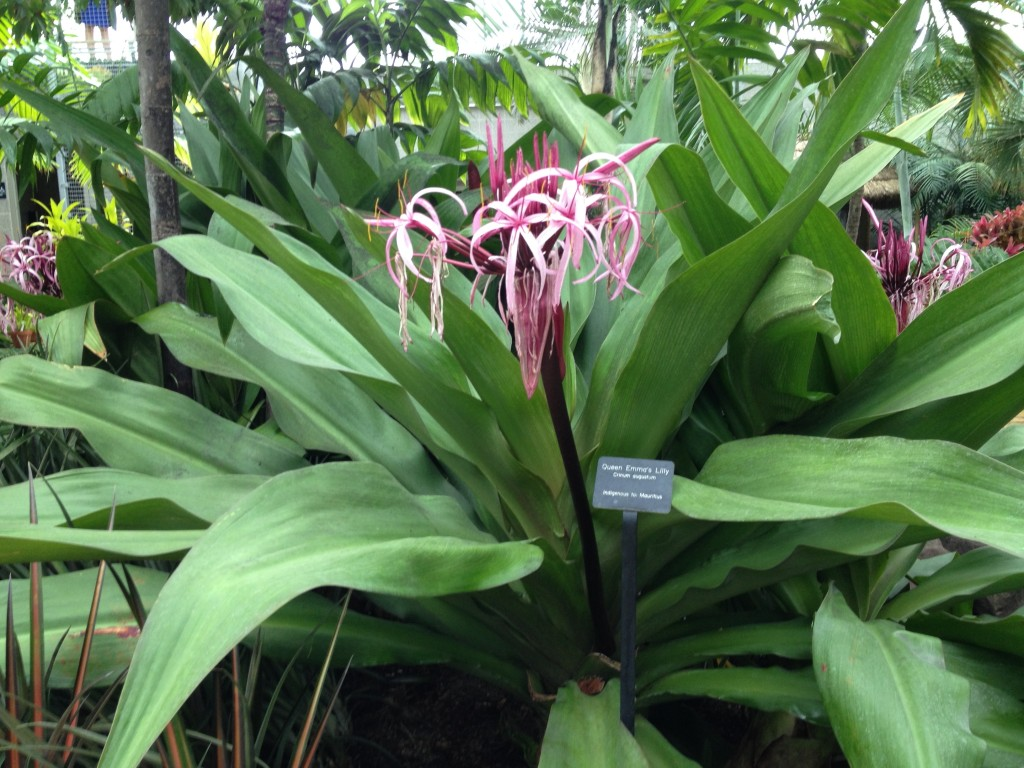 Queen Emma's Lily